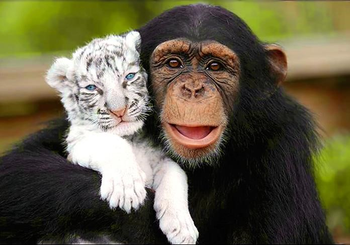 Chimpancé abrazando a una cría de tigre blanco