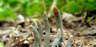 Dedos de muerto: el hongo que sale de la tierra para llevarte al más allá