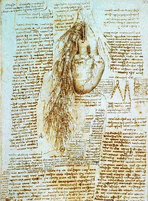 Dibujo del corazón, los bronquios y los vasos bronquiales