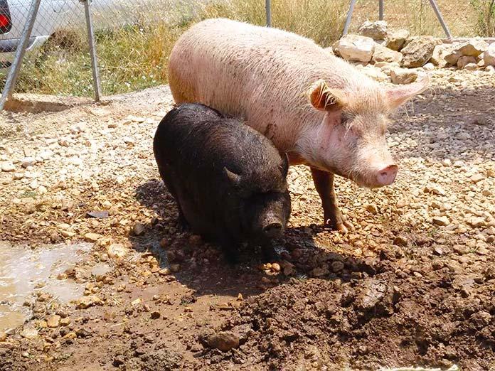"""Fotografía de dos cerdos del Santuario """"El Paraiso de Nora"""""""