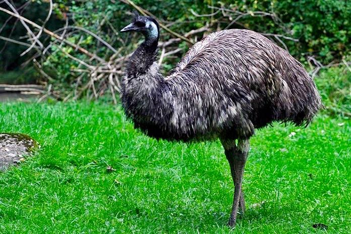Emú Negro