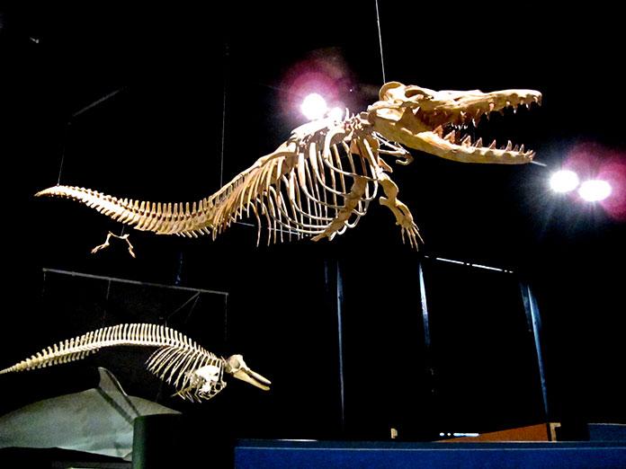Esqueleto de un Dorudon