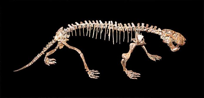 Esqueleto de un Gorgonopsia