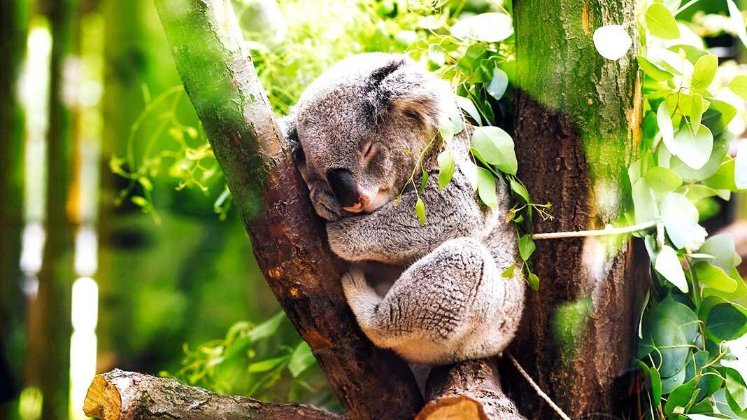 Los koalas están en