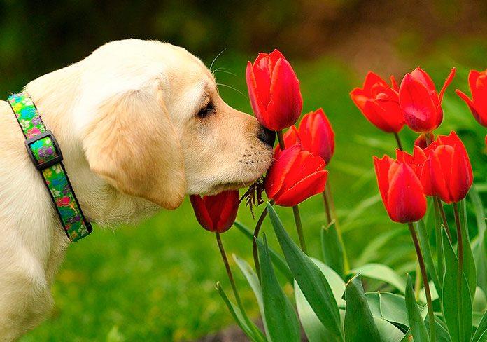 Cachorro de Golden Retriever oliendo flores