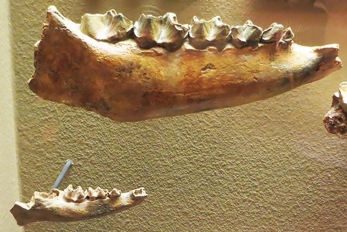 Fósil de un Anisodon