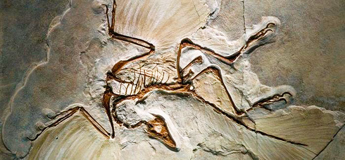 Fósil del ave archaeopteryx