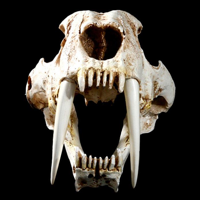 Fósil del felino dientes de sable