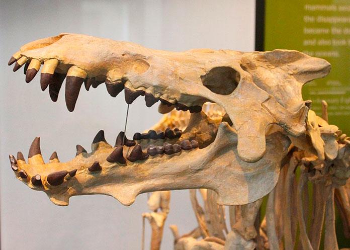 Fósil de un Entelodontidae
