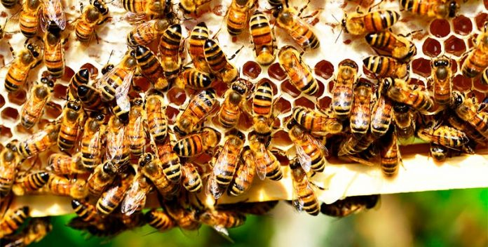 Una guerra entre abejas melíferas y especies salvajes.