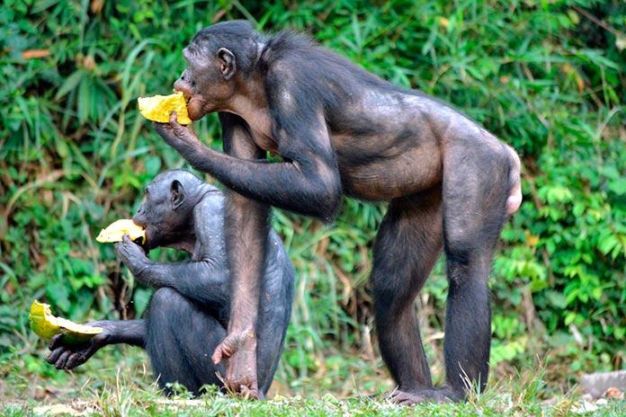 Hembras bonobos