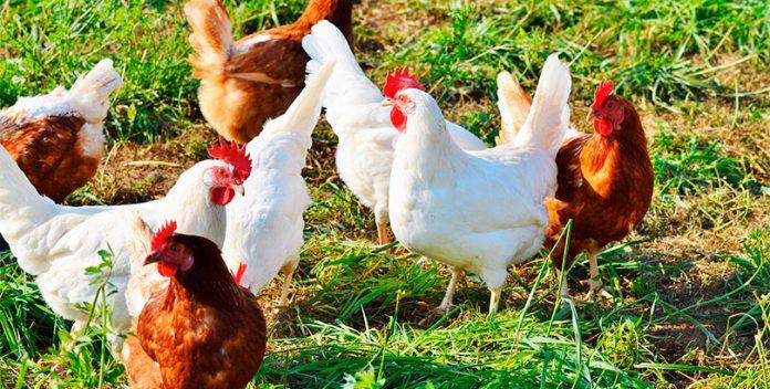 Los huevos de gallinas enjauladas desaparecen de Lidl España.