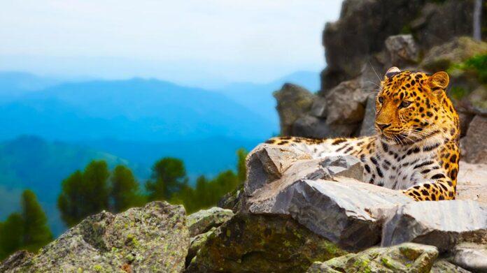 leopardo en una roca