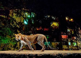 Los leopardos que salvan vidas humanas en Bombay.