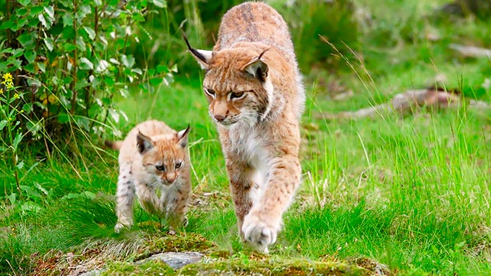 Lince Europeo Lynx Lynx
