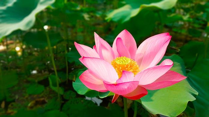 Incienso de lotus