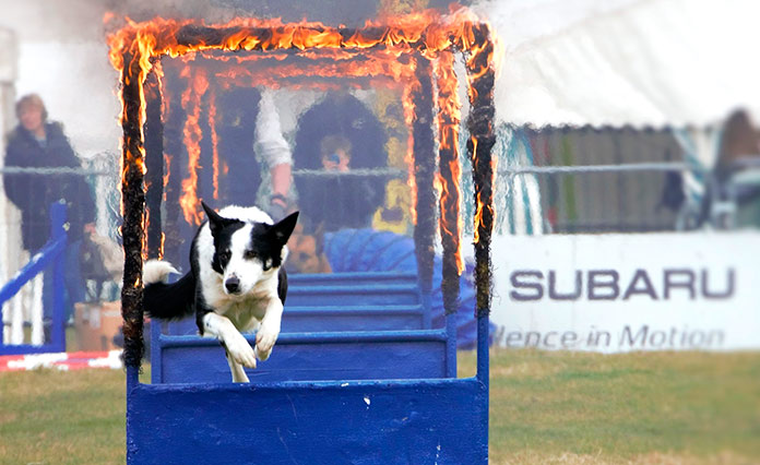 Maltrato animal - Competiciones caninas