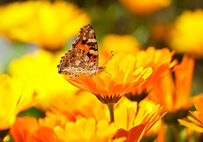 Mariposa posada en una caléndula