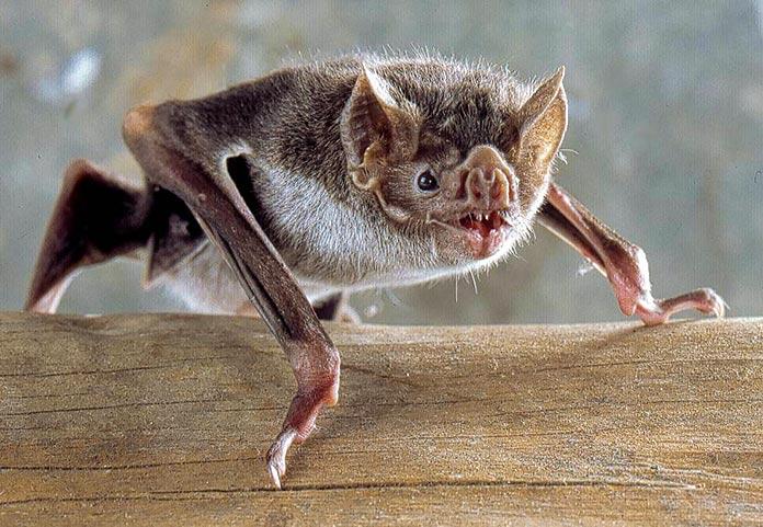 Murciélago vampiro común