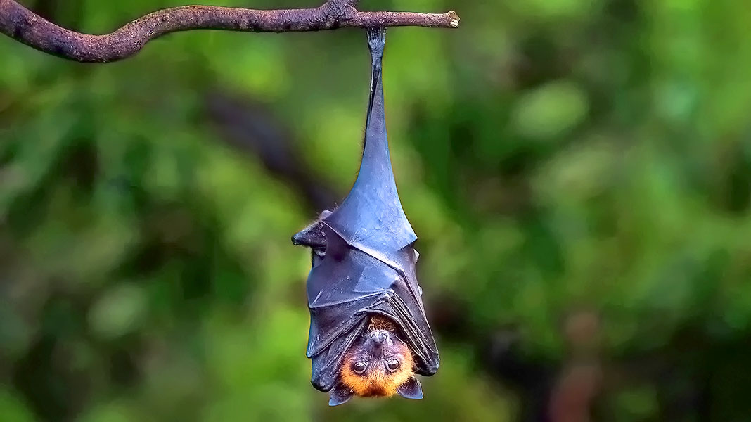 Falsos mitos sobre los murciélagos que te sorprenderán