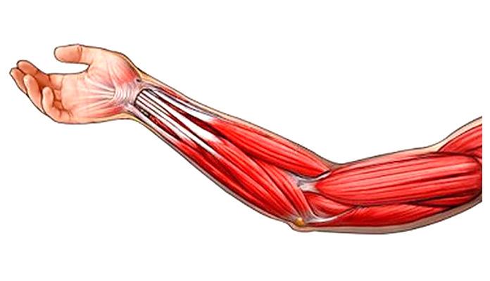 Músculos olvidados: Antebrazo