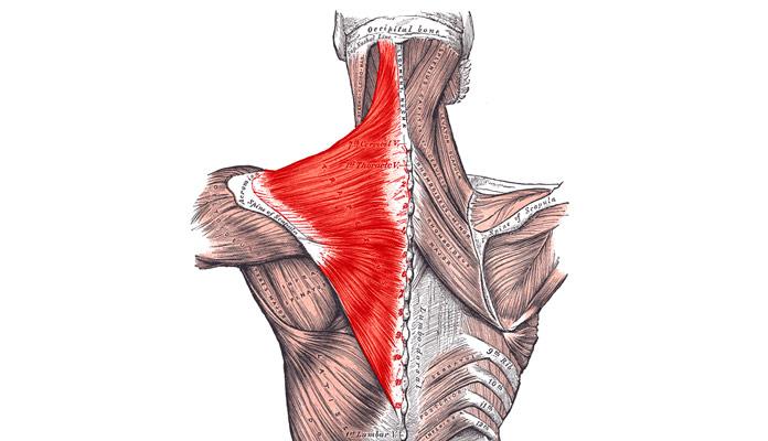 Músculos olvidados: Trapecio