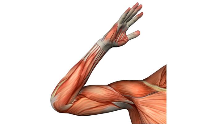 Músculos olvidados: Tren superior