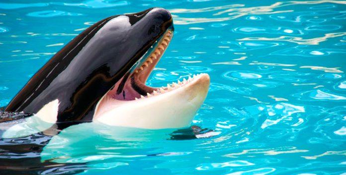 Wikie, la orca que imita palabras humanas.