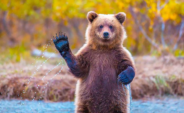 Oso grizzli mexicano