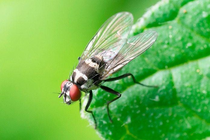 Se desvelan datos sorprendentes sobre el placer sexual de las moscas.