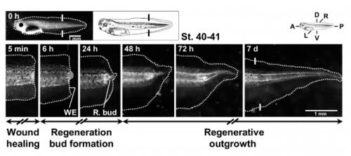 Diagrama de la regeneración de la cola de un renacuajo, diagrama A
