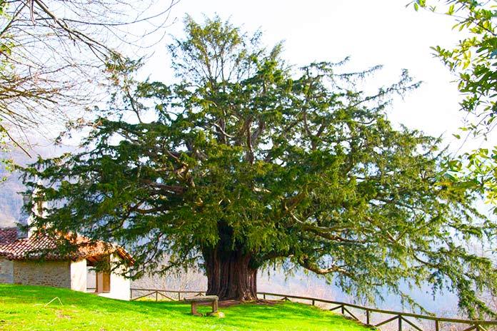 Un árbol, una historia. El Tejo de Salas, mágico testigo de la expansión cristiana