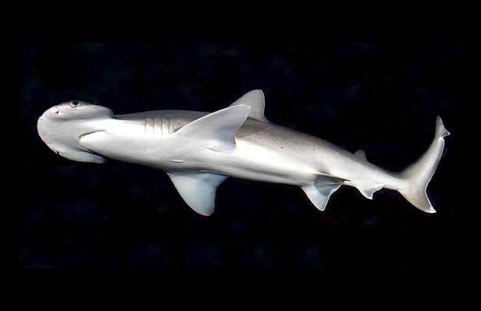 Tiburón cabeza de pala