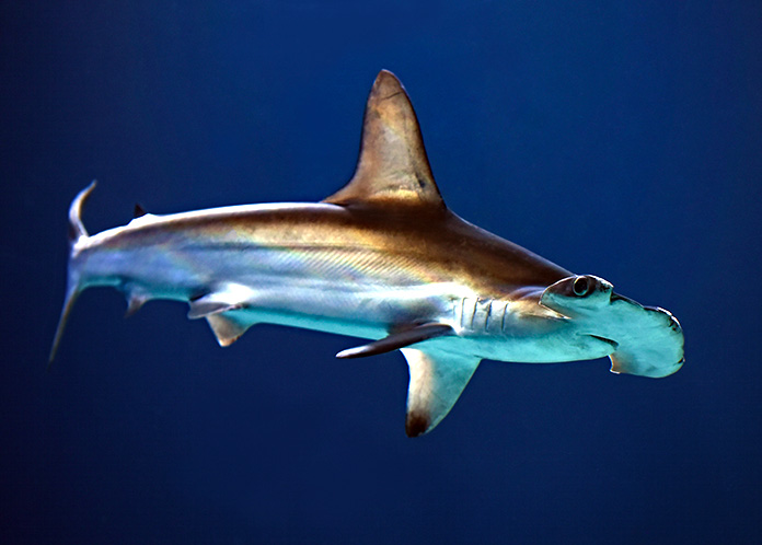 tiburón vegetariano cabeza de pala