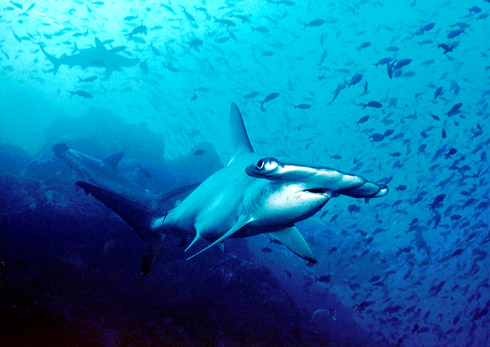 tiburón vegetariano - tiburón martillo