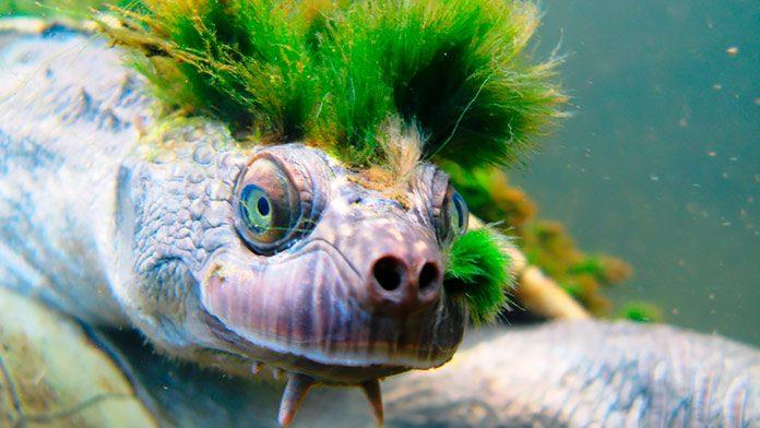 La exótica tortuga de cresta verde está en peligro de extinción.