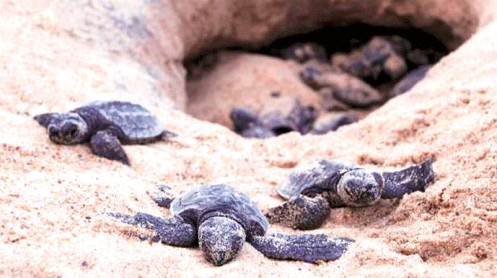 Tortugas playa de Versova