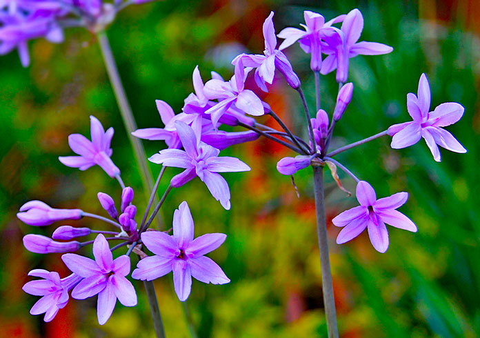 Tulbaghia violácea