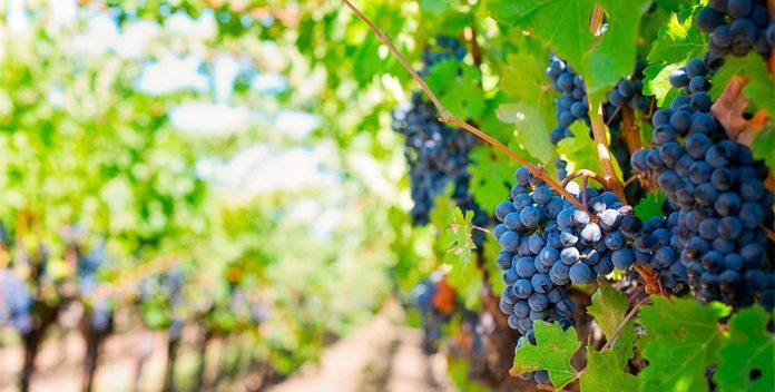 Viñas centenarias que producen vino ecológico en Huelva.