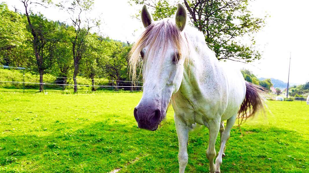 Jenny, la yegua que pasea cada día libremente por Frankfurt